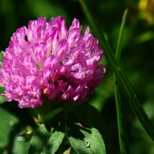 Купить семена клевера розового