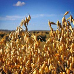 Семена овса - 1 кг