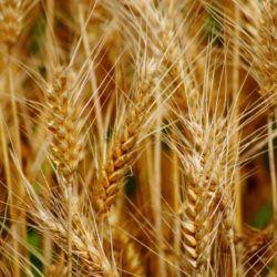 Семена пшеницы - 1 кг