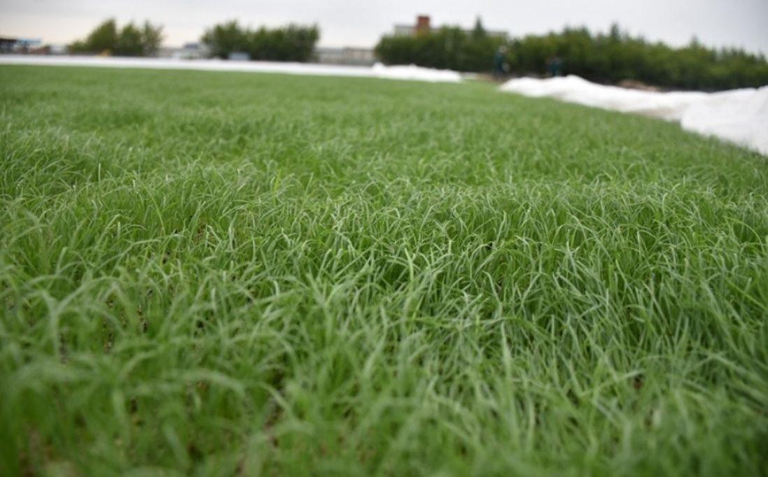 Как обустроить газоны с райграсом ?